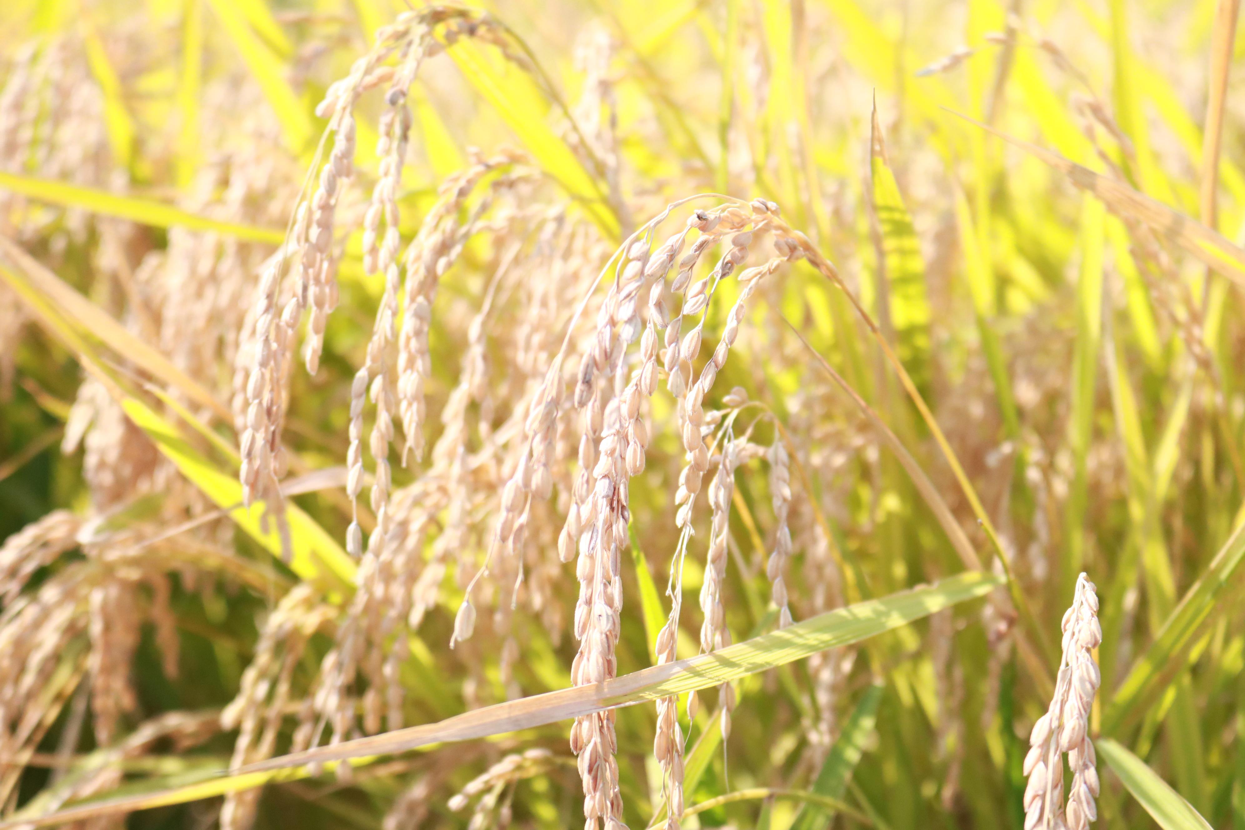 【募集中】農業体験@秋庭農園 「稲刈り」